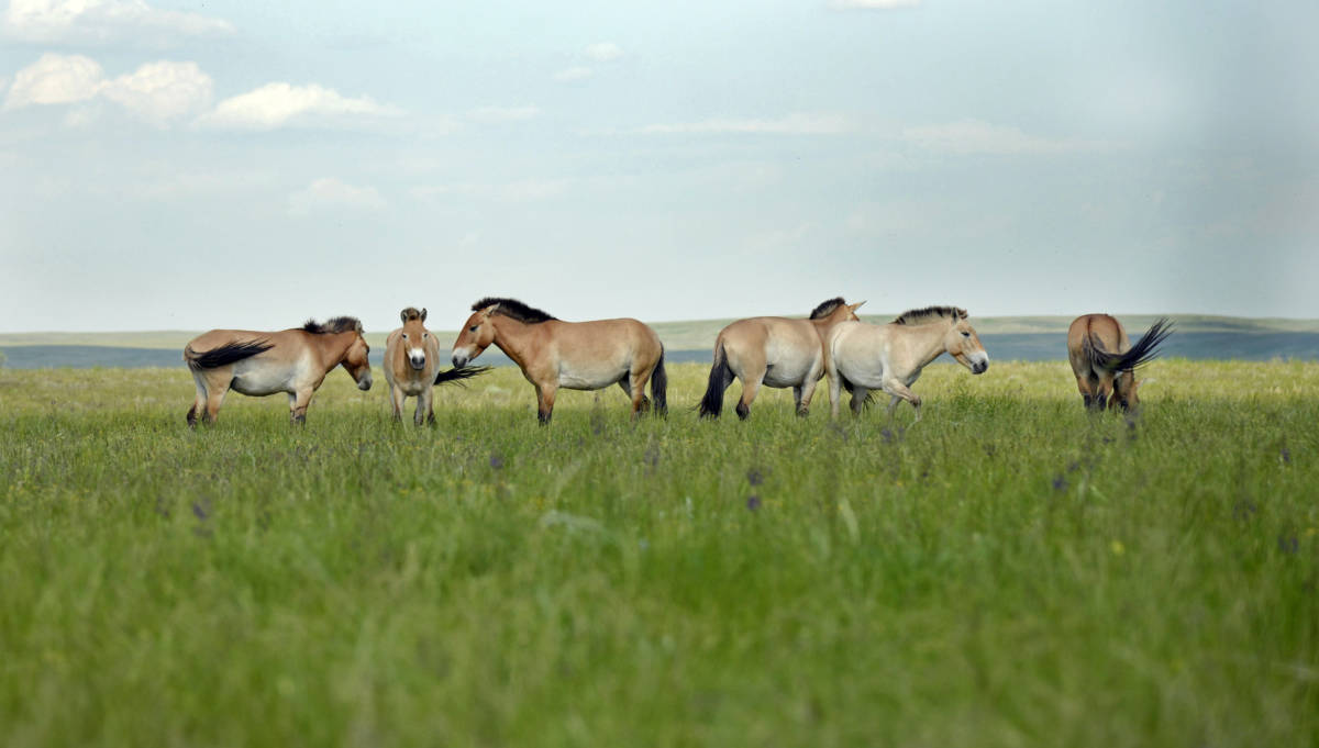 Фотовыставка о лошадях Пржевальского