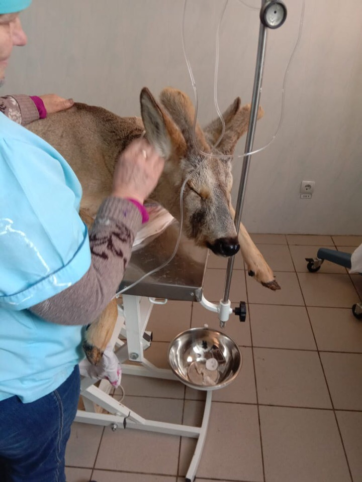 В Ясном выходили косулю: животное было на волоске от смерти
