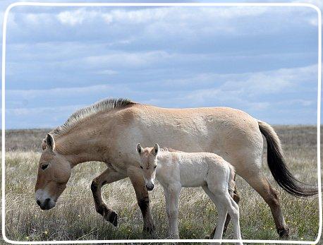 В Оренбургском заповеднике родились два жеребенка