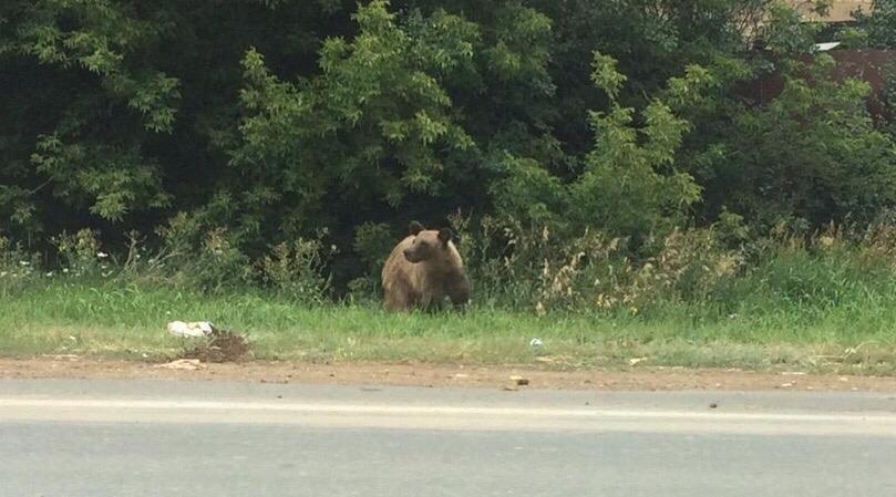 Бузулукские медведи прижились в Магасе