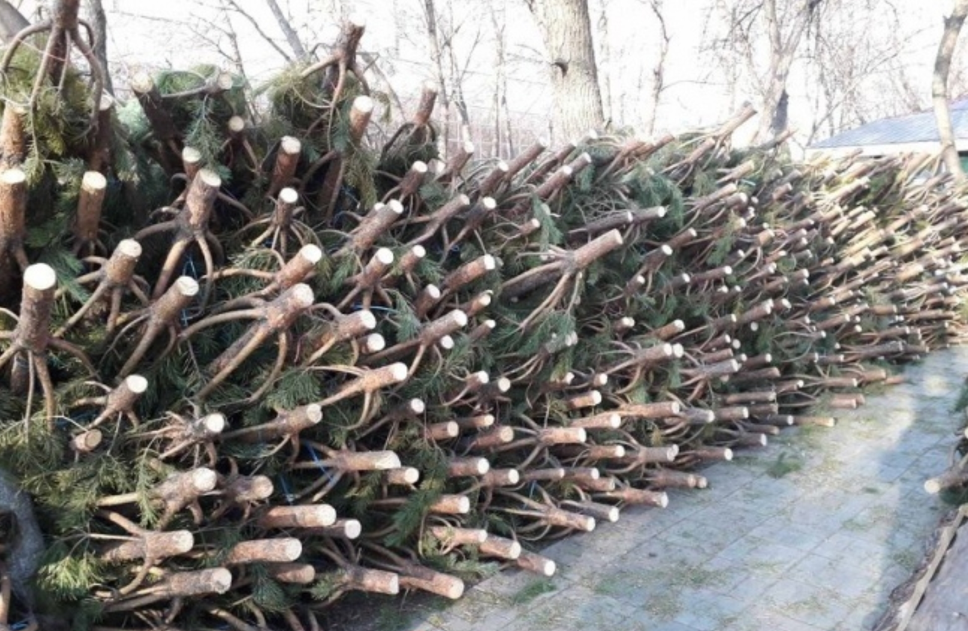 В Оренбурге начали торговать живыми елками